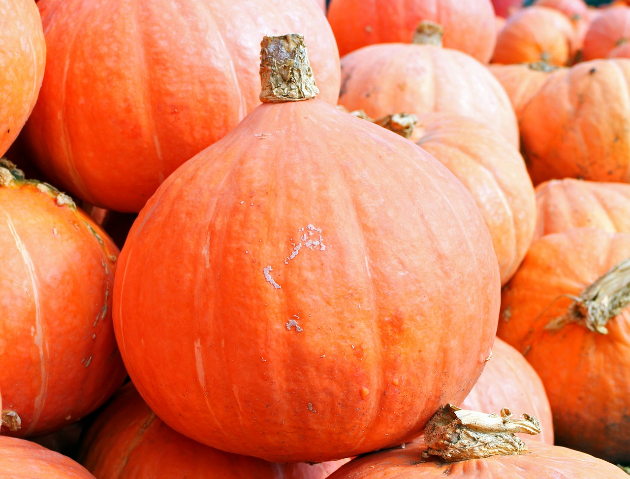 orange pumpkins in a pile
