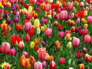 bed of colorful tulips.